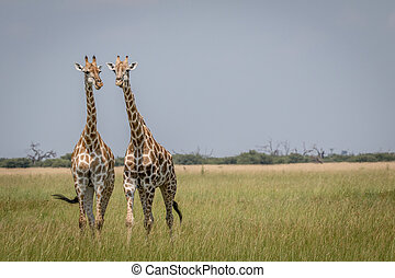 Two Giraffes starring at the camera in the Chobe National...