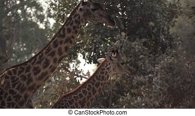 Two giraffes walking in slow-mo - Profile view of two ...