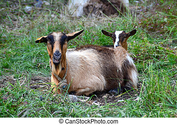Two goats in the field