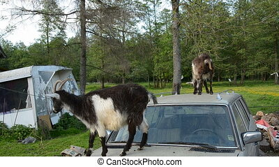 two goats on old car
