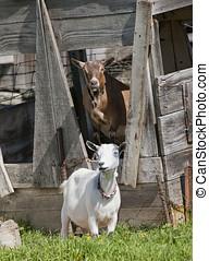 Two goats. - A couple of Boer goats near Hayden, Idaho. One...