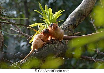 Two Golden Lion Tamarin sitting on a tree branch