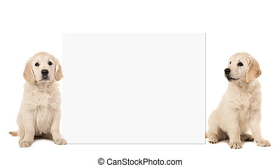 Two golden retriever puppy dogs sitting next to a white board with space for text isolated on a white background