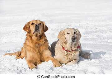 Two Golden retriever - puppy