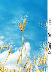 two golden stems under blue sky on field