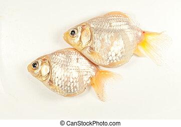 Two goldfish die