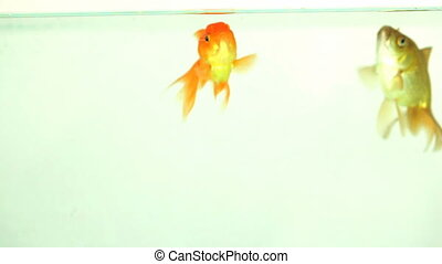 Two goldfish eating in an aquarium.