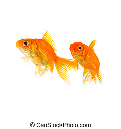 two goldfish friends - A couple of goldfishes on white ...