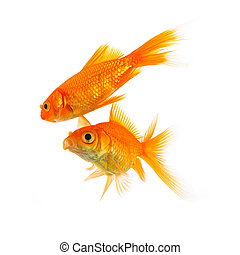 two goldfishes on white - A couple of goldfish love isolated...