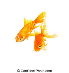 Two goldfishes swims - A two goldfishes isolated on white...