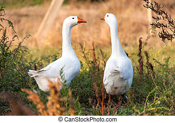 two goose grazing on the grass in the countryside