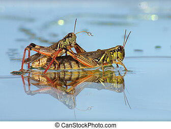 Two Grasshoppers mating in close up