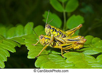 Two grasshoppers on leaf
