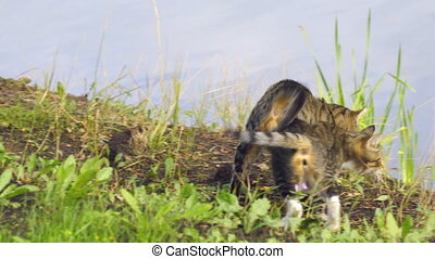 Two gray cats caress on the grass by lake - Two gray cats...
