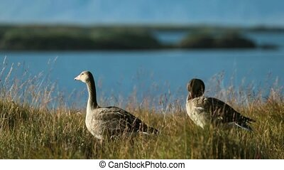 Two gray goose stand on the shore of the oceanic bay. The goose cleans its feathers on the shore. A flock of gray geese on the background of the landscape of Iceland.