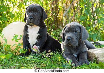 two Gray Great Dane dogs puppies outdoor