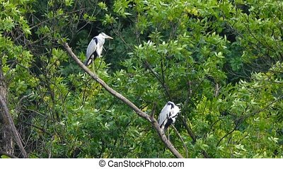 two gray herons sitting on a tree