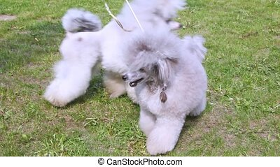 Two gray poodle walk with owner on lawn with green grass