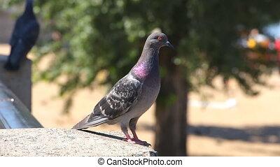 Two gray wild pigeons