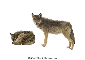 two gray wolf