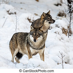 Two gray wolfs, Canis lupus, standing in snow. Captive ...