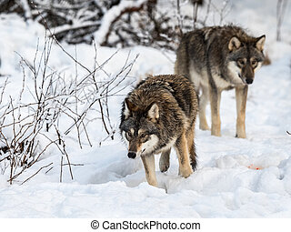 Two gray wolfs, Canis lupus, walking to the right, while ...