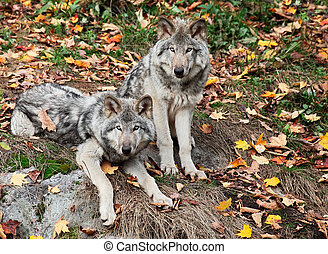 Two Gray Wolves Looking at the Camera - On a fall day two...