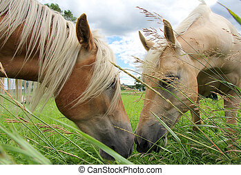 Two Grazing Horses Eating Grass and Touching Noses
