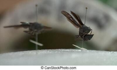 Two Great Black Wasps on Display - Handheld, panning, medium...