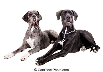Two great Dane dogs on white
