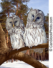 Two Great Grey Owls in winter - Two Great Grey Owls on tree ...