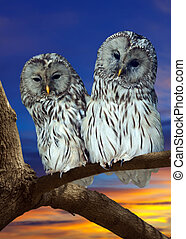 Two Great Grey Owls (Strix nebulosa) against sunset sky