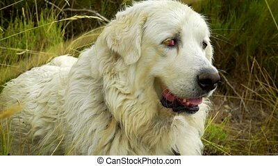 Two Great Pyrenees dogs taking a rest in the mountain
