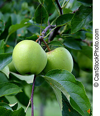 green apples on a branch with leaves