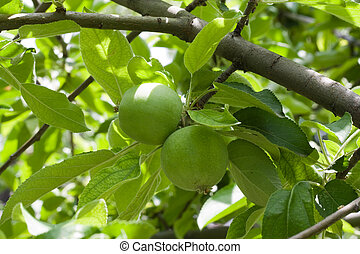Two green apples on branch