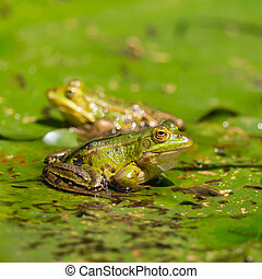 two green frogs (rana) sitting on water lily leaf in pond