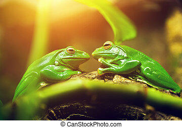 Two green frogs sitting on leaf looking on each other