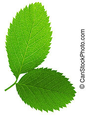 Two green leaf isolated on white background .
