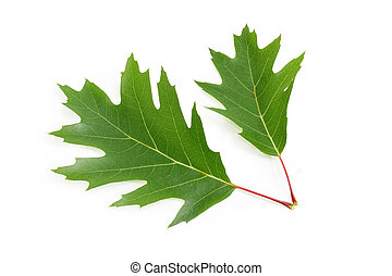 Two green leaves of red oak on a white background