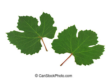 Two green leaves of vine.