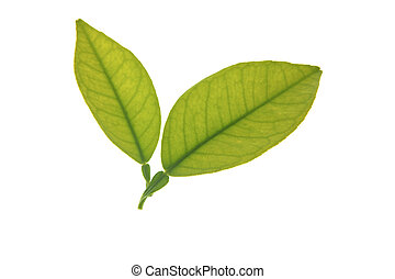 Two green orange tree leaves isolated over white