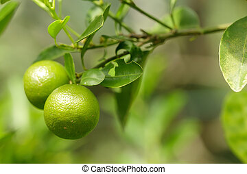 two green oranges