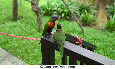 Two green parrots feeding or kissing each other in a bird...