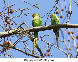 Two green parrots on a branch