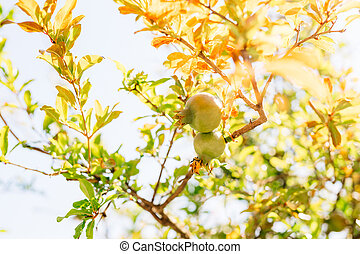 Two green pomegranate fruits on a tree branch.