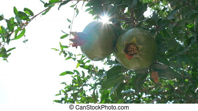 Two Green Pomegranates Closeup