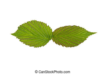 two green raspberry leaf on white background