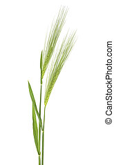 Two green spikelets of barley on white background