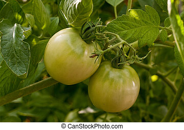 Two Green Tomatoes on Vine