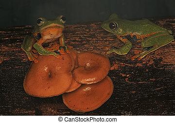 Two green tree frogs (Rhacophorus reinwardtii)
